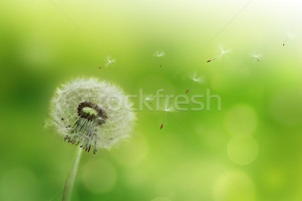 Pitypang fúj magok szél zöld szín Stock fotó © zven0