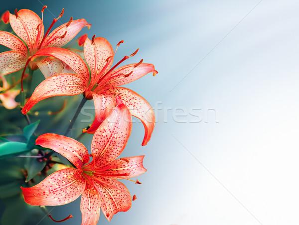 Brilhante vermelho lírios primavera flor natureza Foto stock © zven0