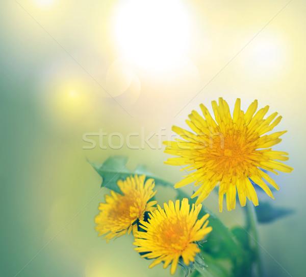 Tavasz citromsárga pitypang virágok virág levél Stock fotó © zven0