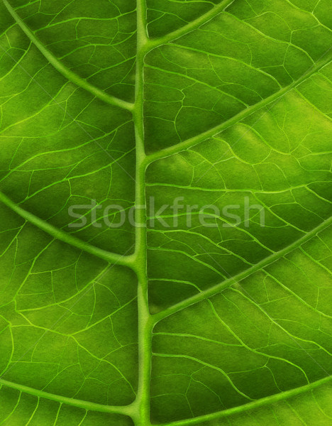 Green leaf close-up Stock photo © zven0