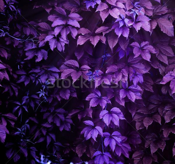 Tırmanma bitki mor tok ekran doğa Stok fotoğraf © zven0