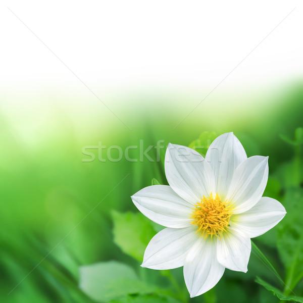 Természetes gyönyörű fehér virág tavasz fény terv Stock fotó © zven0