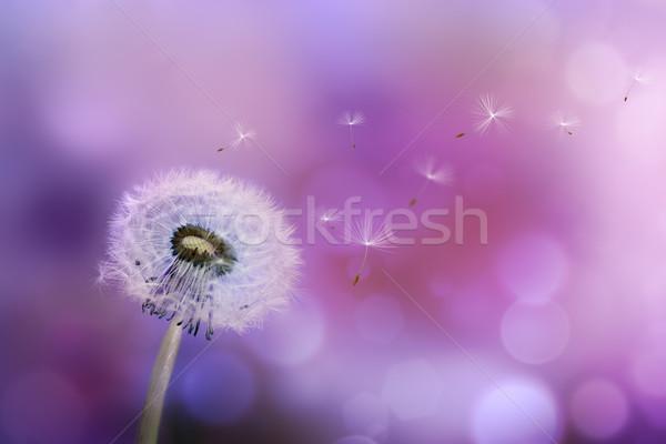 Pitypang fúj magok szél ibolya természet Stock fotó © zven0